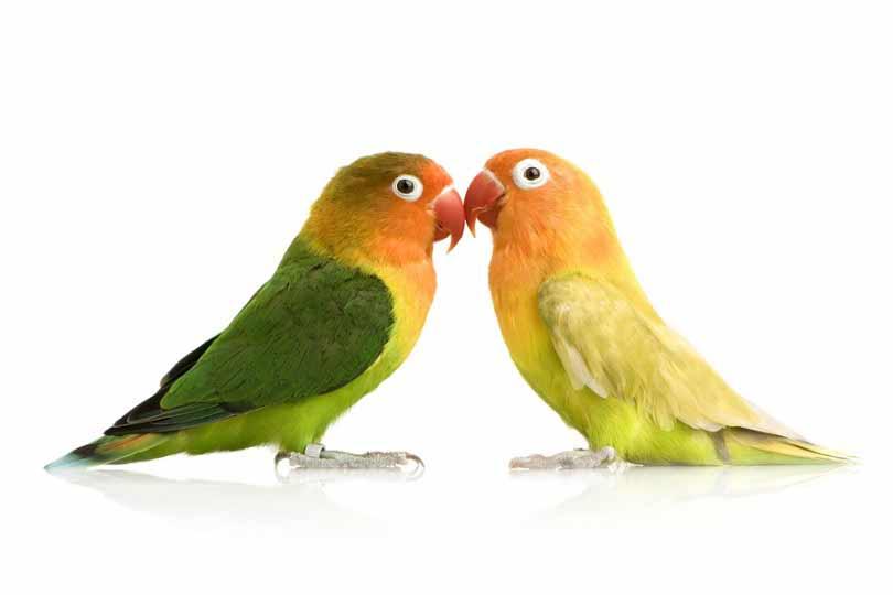 طوطی عشق