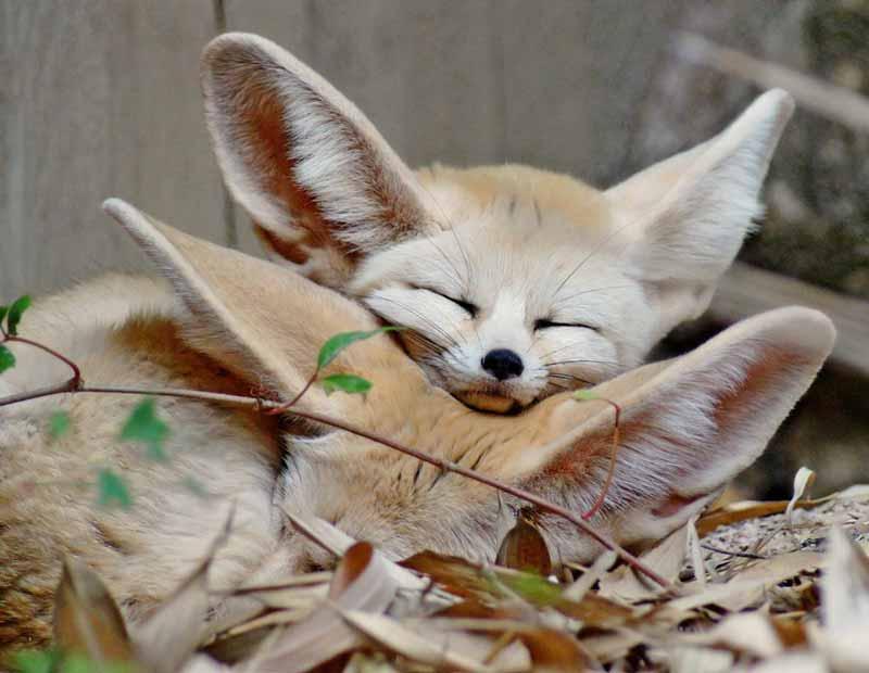 fennec-fox-pet