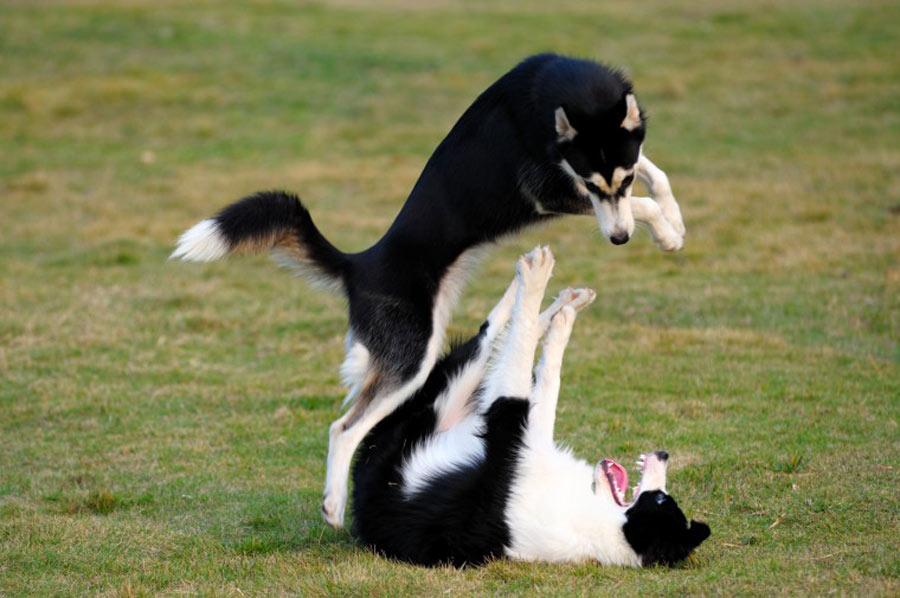 بازی سگ ها با یکدیگر