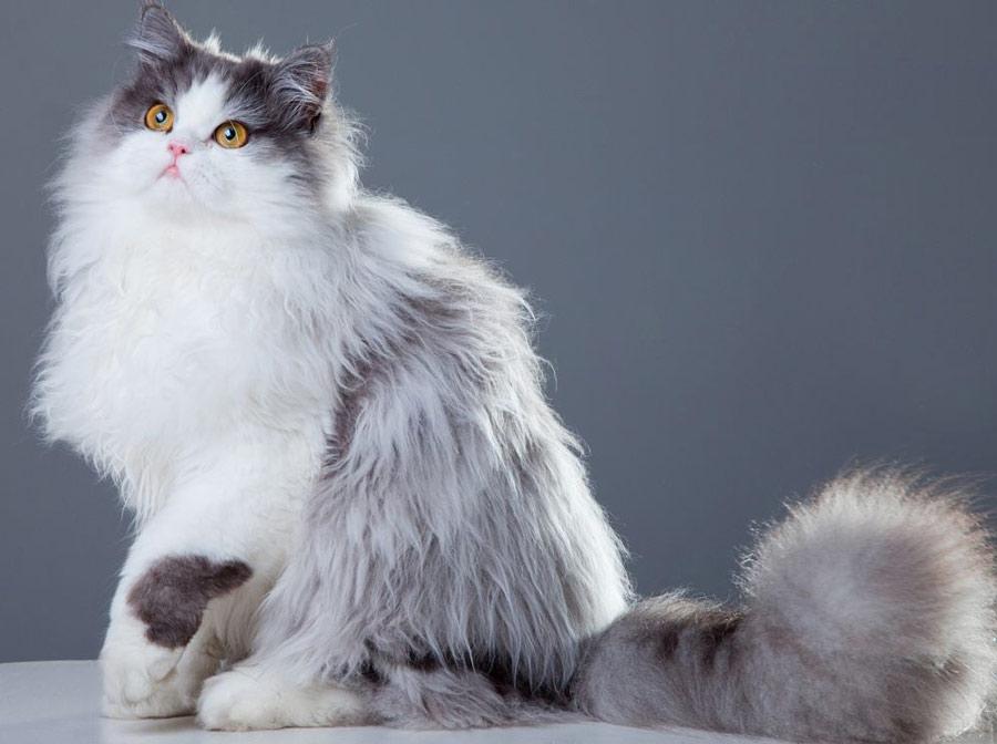 ظاهر گربه پرشین
