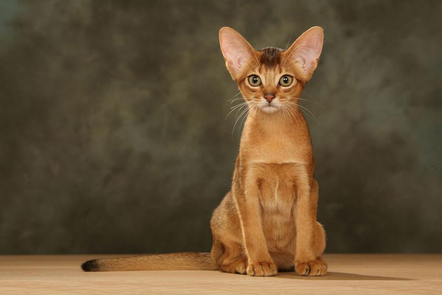 گربه ی حبشی