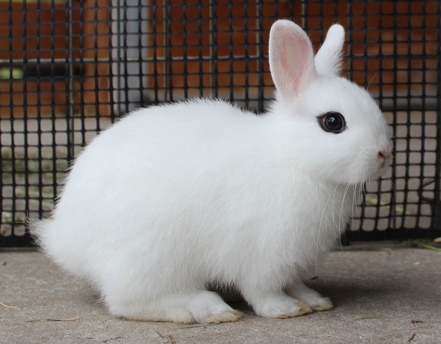خرگوش هوتوت کوتوله