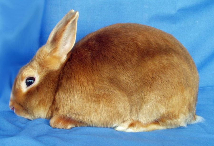 خرگوش مینی ساتین