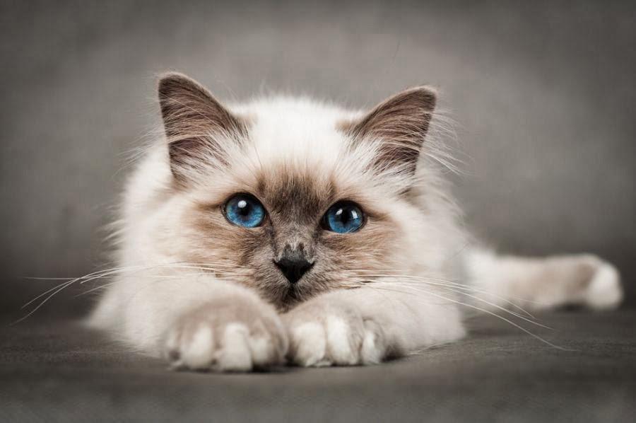 گربه بیرمن