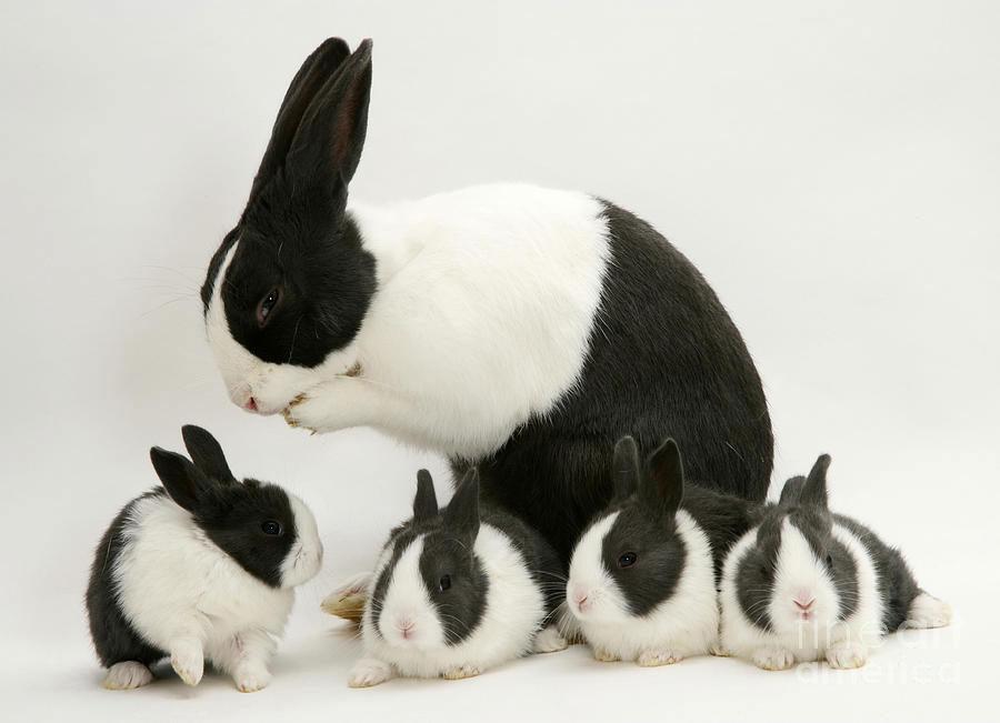 خرگوش آلمانی