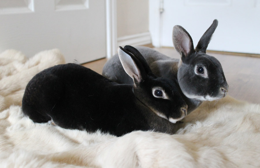 خرگوش مینی رکس