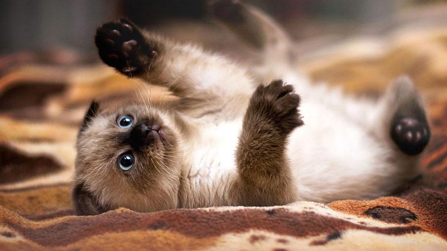 بچه گربه سیامی