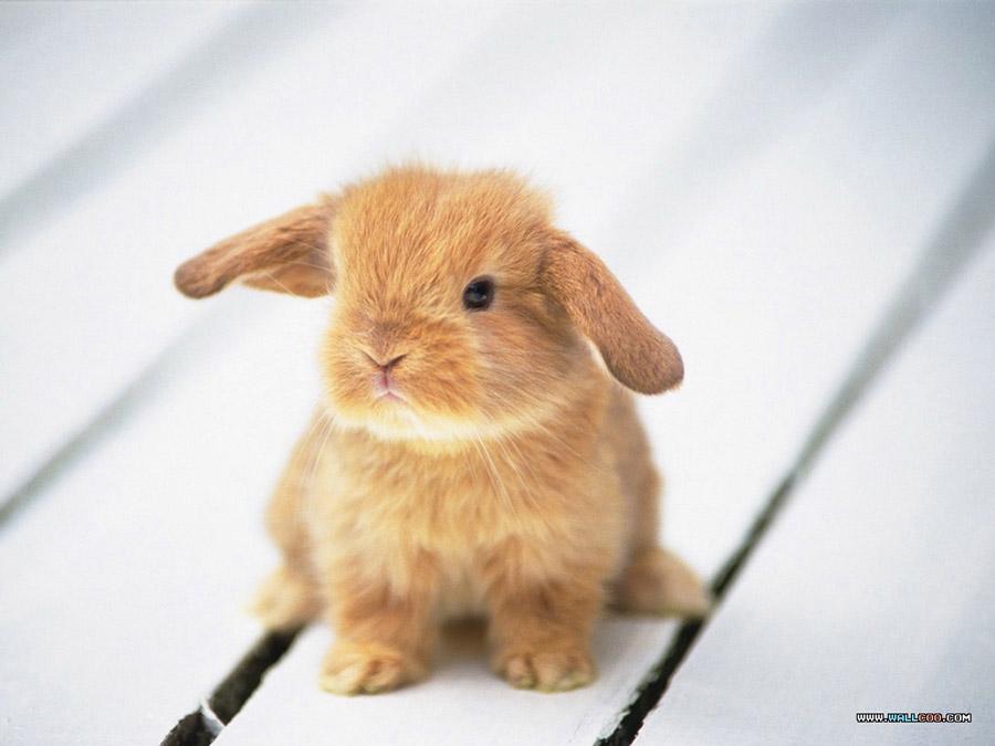 نژاد خرگوش لوپ