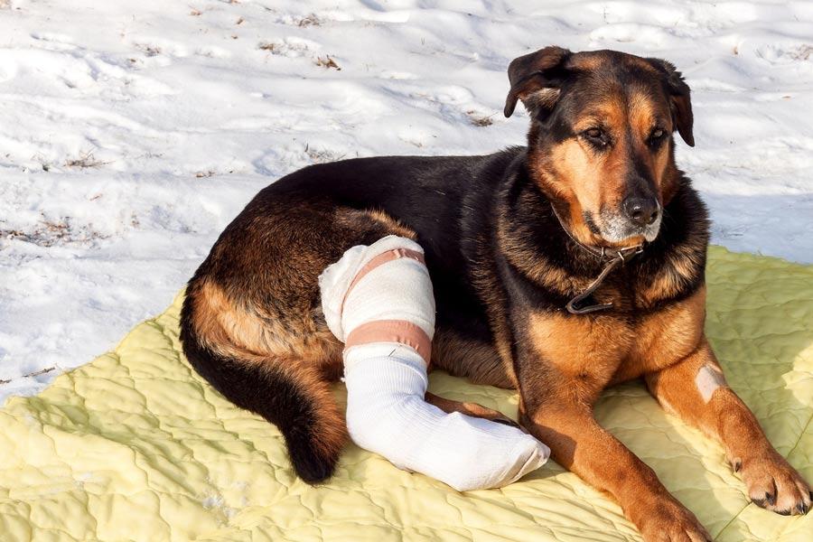 آسیب دیدگی اندام سگ
