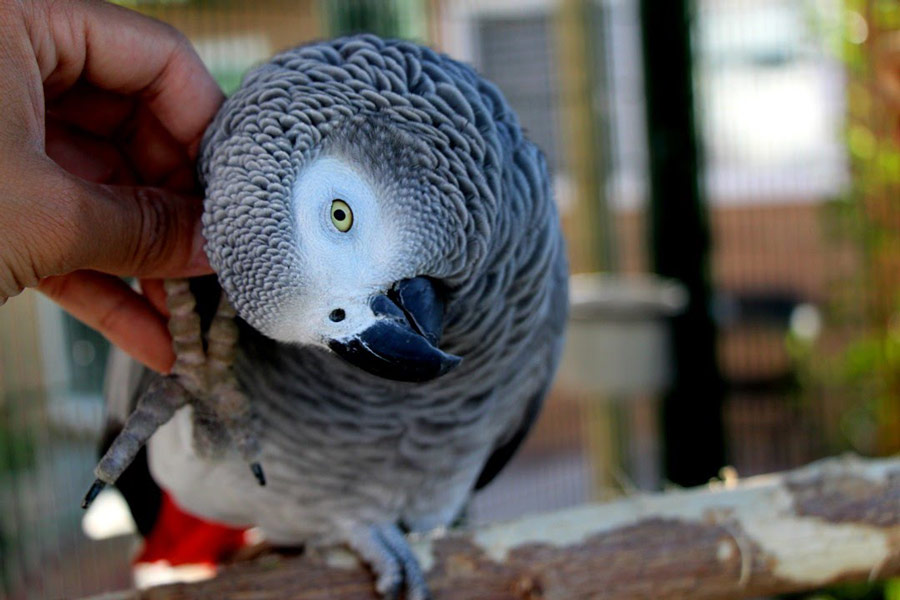 طوطی خاکستری آفریقایی (African Grey Parrot)