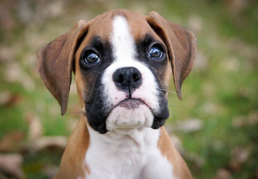 باکسر (Boxer)