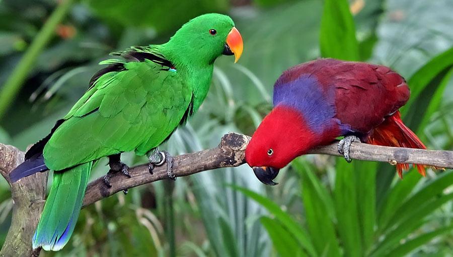 طوطی اکلکتوس (Eclectus Parrot)