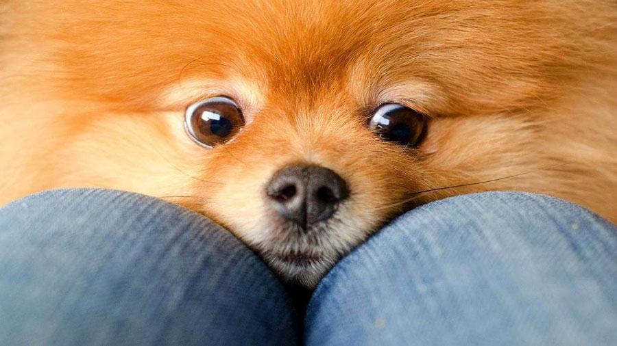 پامرانین (Pomeranian)