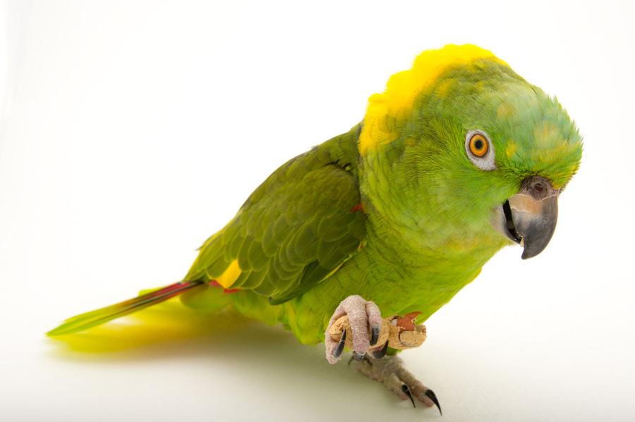 طوطی آمازون پشت گردن زرد (Yellow Naped Amazon Parrot)