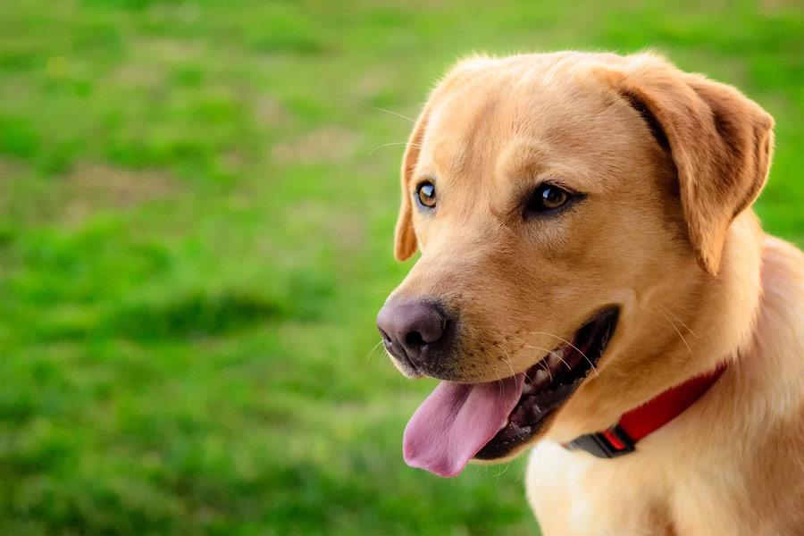 لابرادور رتریور (Labrador Retriever)