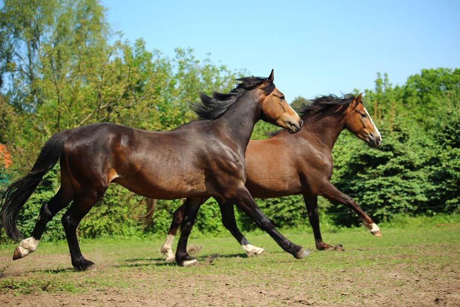 میانگین سن اسب
