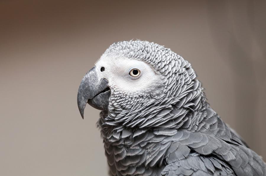 پرنده باهوش کاسکو