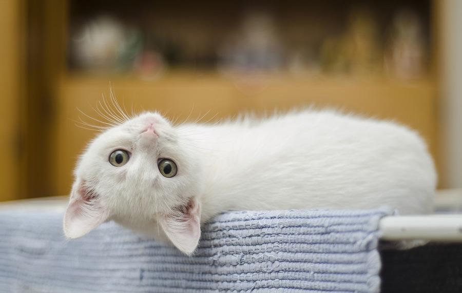 گربه باهوش