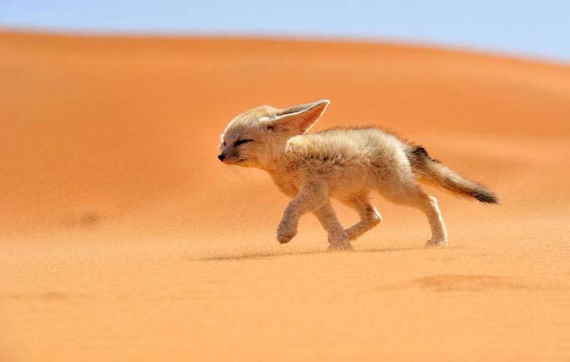 روباه صحرا
