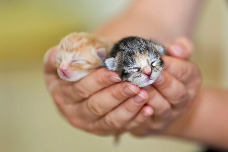 هفته اول بچه گربه