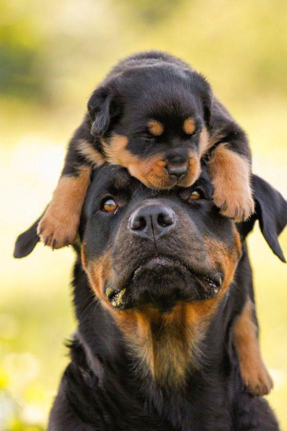 آشنایی با نژادهای سگ: روتوایلر