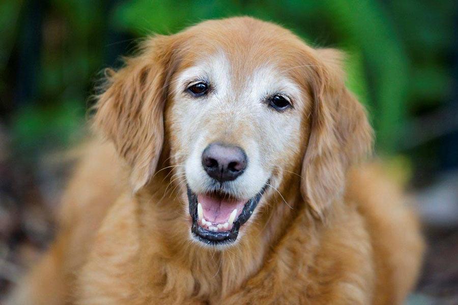 خاکستری شدن صورت سگ پیر