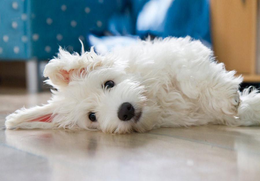 سگ Coton de Tulear