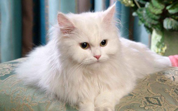 معرفی نژادهای گربه: پرشین (آریایی)