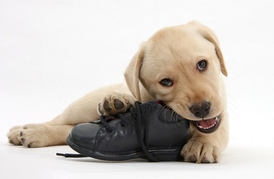 جویدن کفش سگ