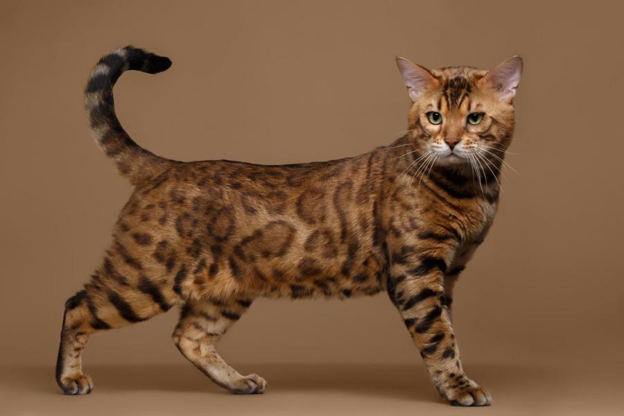 گربه بنگال
