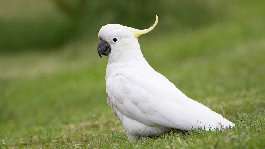 طوطی کاکادو