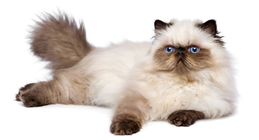 گربه هیمالین