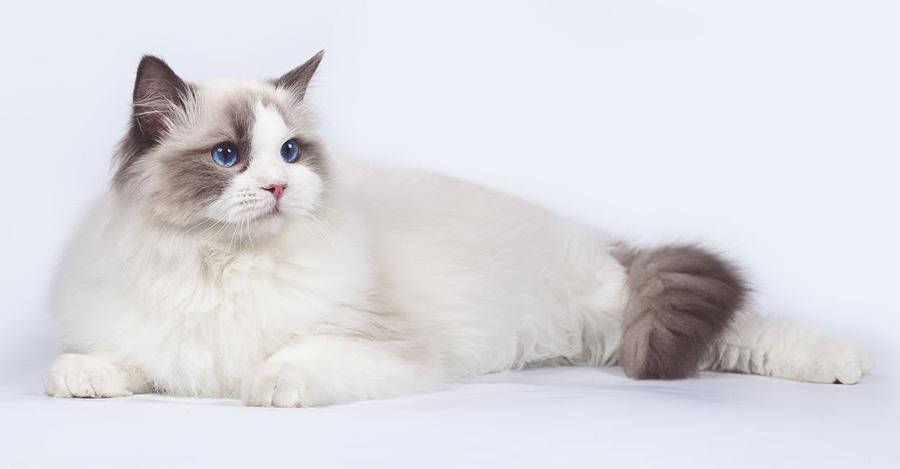گربه رگدال