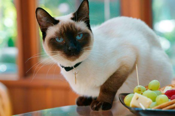 عکس گربه سیامی