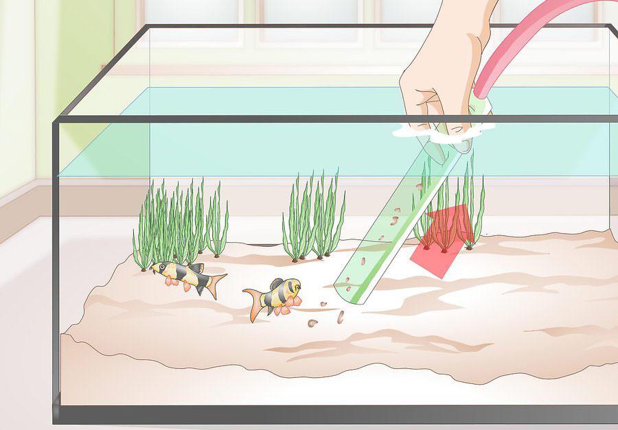 خارج کردن پسماندها و فضولات موجود در کف آکواریوم با استفاده از سیفون