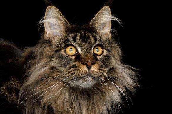 گربه مین کون