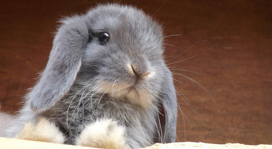 خرگوش لوپ