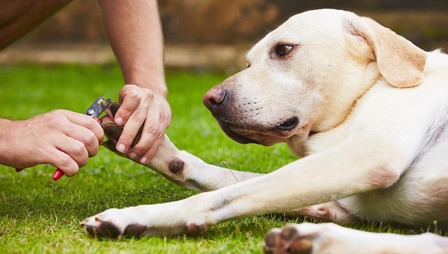 ناخن سگ