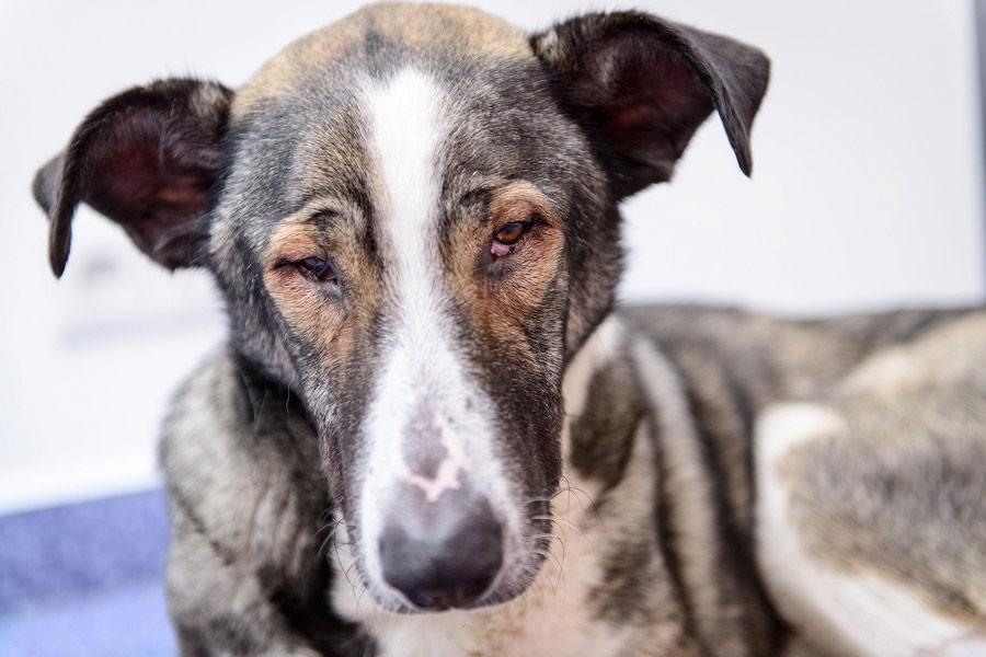آسیب چشم سگ