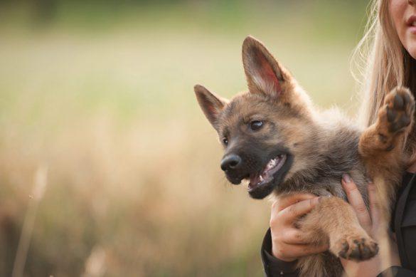 آشنایی با نژادهای سگ: ژرمن شپرد