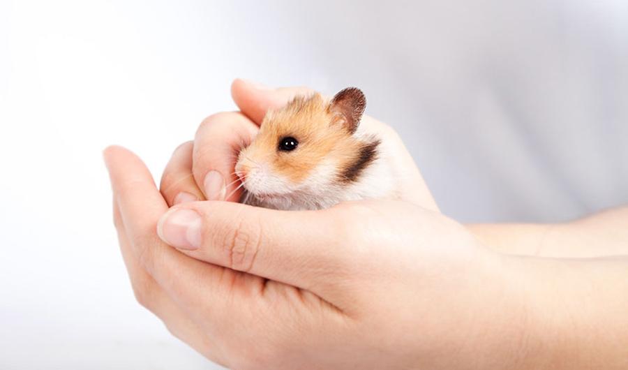 همستر خود را با دست بگیرید