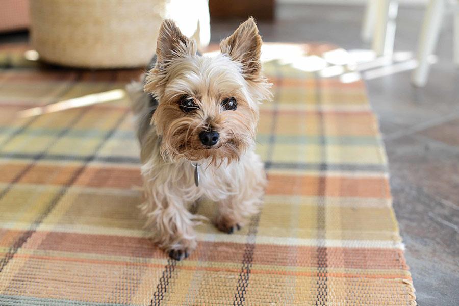 یورکشایر تریر (Yorkshire Terrier)