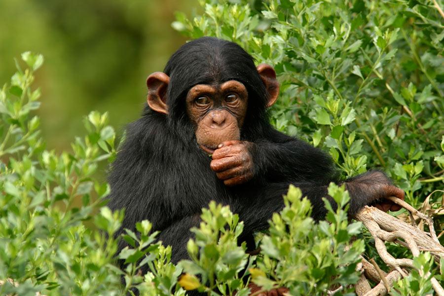 شامپانزه باهوش