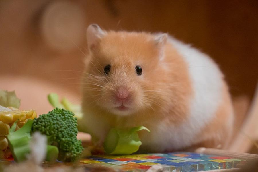 رژیم غذایی طبیعی همستر
