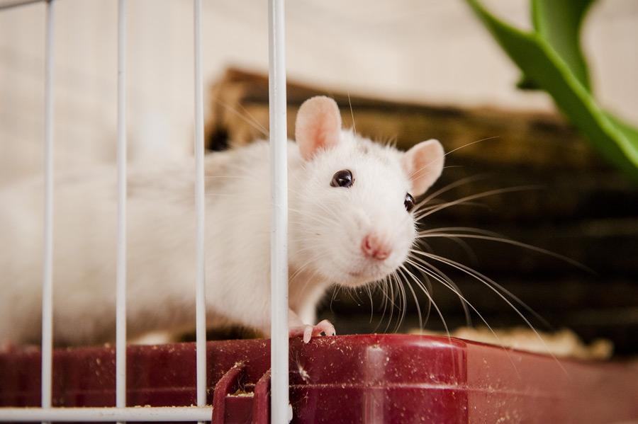 موش باهوش خانگی