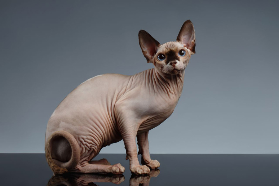 گربه اسفینکس