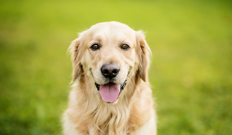 گلدن رتریور (Golden Retriever)