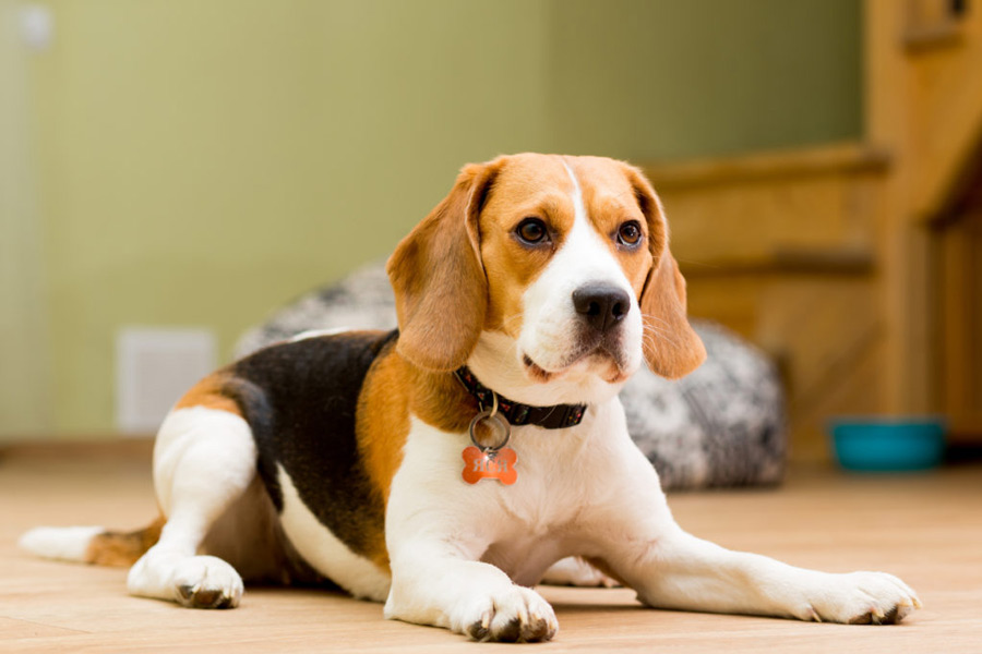 بیگل (Beagle)