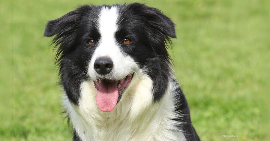 بردر کولی (Border Collie)