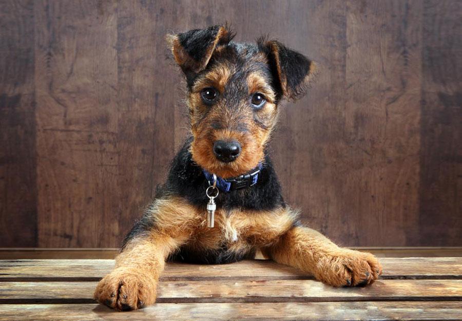 ایردل تریر (Airedale Terrier)